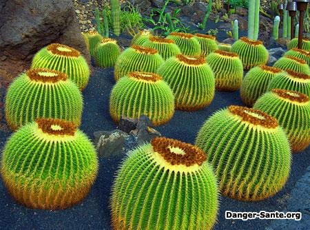 plante hallucinogène mescaline