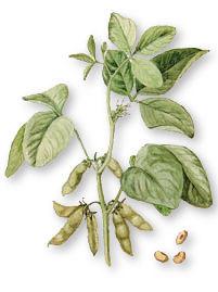 OGM Soja